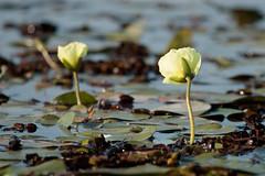 Amapolas de agua - Water poppies (Ce Rey) Tags: planta plant flower flor plantaacuática aquaticplant botanic botanica botanical agua water amapoladeagua iberá esterosdeliberá nature naturaleza vidasilvestre flora canon eos80d dos two poppy poppies waterpoppies