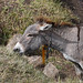 Donkey (Ethiopia Rte. A2)