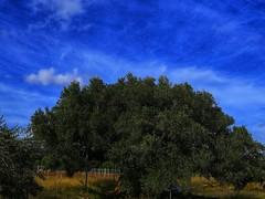 Olivera la morruda (Jovi García) Tags: olivos olivetree nature naturalezacautivadora naturaleza segorbe altopalancia castellón green verde