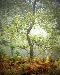 Ashdwon Forest (Karl Horsman) Tags: uk england landscape photography greatbritian canon canon5dmk3 atmosphere atmospheric outdoors leefilters closeup serene eastsussex southeast 70200mm ashdownforest woodland mist branches bracken