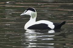 Eider (sumowesley) Tags: bird eider fauna nature slimbridgewetland wwt