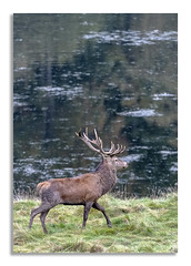 Stag strutting. (johnhjic) Tags: johnhjic water lake grass field north yorkshire study royal deer stag reflection autumn antlers