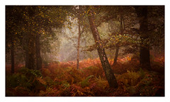 Ashdown Forest / October 24th (Edd Allen) Tags: ashdownforest forest woods woodland ethereal bucolic serene for mist misty foggy tree trees treescape landscape country countryside bracken foliage wychcross autumn leaves uk england south southeast eastsussex nikon nikond810 d810 nikkor70200mm atmosphere atmospheric