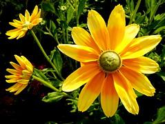Goodbye summer (mujepa) Tags: yellow flower summer fleur jaune été nature