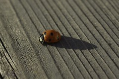ladybug (zawaski -- Thank you for your visits & comments) Tags: stevepineo alberta 4hire canada beauty naturallight noflash music serves scottarnold zawaski©2019 calgary live love paris ambientlight timwilliams lovepeace editing canonef50mmf25macro