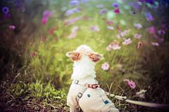 Flower Viewing (moaan) Tags: kameoka kyoto japan dog jackrussellterrier kinoko flowerviewing cosmosflowers fieldofflowers backsight bokeh boehphotography dof leica leicamp type240 noctilux noctilux50mmf10 50mm f10 utata 2019