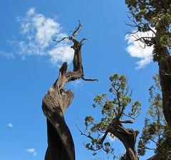 Breaking free (langkawi) Tags: colorado gardenofthegods tree juniper wacholder dead