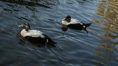 Eiders sizing each other up? (PChamaeleoMH) Tags: barnes birds eider london wwtbarnes wetlandcentre