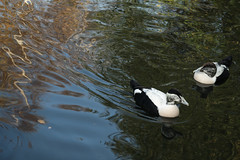 Eiders on pretty water (5/5) (PChamaeleoMH) Tags: barnes birds eider london wwtbarnes wetlandcentre