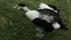 Eider (m) Pilates (PChamaeleoMH) Tags: birds barnes eider london stretching wetlandcentre wwtbarnes