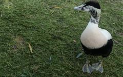 Eider (m) losing interest (PChamaeleoMH) Tags: barnes birds eider london wwtbarnes wetlandcentre