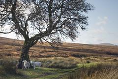 Sheep at Sally Gap (CatMacBride) Tags: sheep tree landscape wicklow ireland sallygap autumn