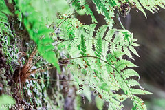 Little Leaves (ashleydiener) Tags: starvedrock starvedrockstatepark illinois enjoyillinois canyon fern nature flickr sony