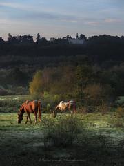 Robe d'automne (Bertrand Thiéfaine) Tags: automne chevaux prairie leverdujour couleursdautomne arbres château lacolinière paysage lumière oudon champtoceaux campagne robefauve