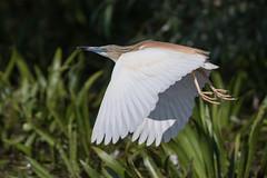 Squacco Heron (The Treerunner) Tags: romania squaccoheron