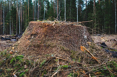Coniferous tree stump. (ivan_volchek) Tags: agriculture autumn autumnenvironment broken burn campaign centraleurope change cleared climate coniferousforests conservation cut damage deciduousforest deforestation deforested destruction development disaster earth ecology environment environmental forest global green landscape leaves logging nature palm protection rain river road russia south timber tree trees tropical wood