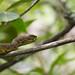 Mangrove pit-viper - Cryptelytrops purpureomaculatus