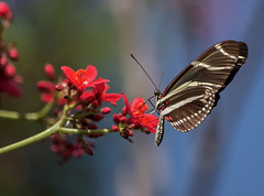 Likes Red (ACEZandEIGHTZ) Tags: zebralongwing butterfly flyinginsect macro closeup nikond3200 heliconiuscharitonius wings winged redflowers jatropha bokeh