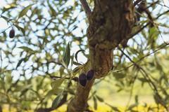 Olivera la morruda - detalle (Jovi García) Tags: olivos olivetree segorbe altopalancia castellón verde green nature naturalezacautivadora naturaleza