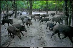 les sangliers (villatte.philippe) Tags: sanglier sangliers forêt nikon d200