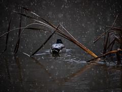 Duck (Jepuu) Tags: bird lake snowing snow nature duck winter raining