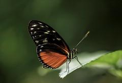 Passionsfalter (Fritz Zachow) Tags: schmetterling schmetterlingspark holm seppensen insekten