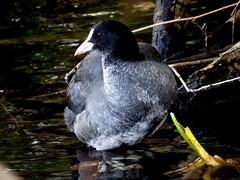 Blässhuhn am Seerand im Ufergebüsch (naturgucker.de) Tags: ngidn747433135 fulicaatra blässhuhn