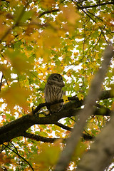 Star Shaped Leaves and Peaceful Barred Owl (escape2eclipse) Tags: owl fall autumn tree leaves barredowl nature wildlife bird sleeping