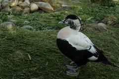 Eider considering his next move (PChamaeleoMH) Tags: barnes birds eider london wwtbarnes wetlandcentre