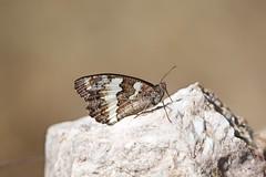 Borboleta (Carlos Santos - Alapraia) Tags: borboleta butterfly ngc flickrcentral ourplanet animalplanet canon nature natureza wonderfulworld highqualityanimals unlimitedphotos fantasticnature macro