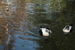 Eiders on pretty water (4/5) (PChamaeleoMH) Tags: barnes birds eider london wwtbarnes wetlandcentre