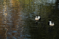 Eiders on pretty water (2/5) (PChamaeleoMH) Tags: barnes birds eider london wwtbarnes wetlandcentre