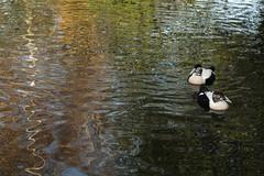 Eiders on pretty water (1/5) (PChamaeleoMH) Tags: barnes birds eider london wwtbarnes wetlandcentre