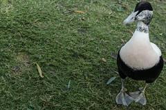 Curious eider (m) (PChamaeleoMH) Tags: barnes birds eider london wwtbarnes wetlandcentre