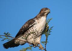 Red-tailed Hawk (nickinthegarden) Tags: redtailedhawks sumasprairie abbotsfordbccanada