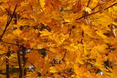 Leaves (Diane Marshman) Tags: fall autumn season colors orange maple tree leaves pa pennsylvania state nature branches color foliage