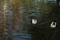 Eiders on pretty water (3/5) (PChamaeleoMH) Tags: barnes birds eider london wwtbarnes wetlandcentre
