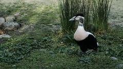 Funny eider (m) waddling (2/3) (PChamaeleoMH) Tags: barnes birds eider london wwtbarnes wetlandcentre