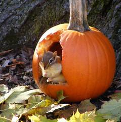 Chippie's Halloween Treat (kfocean01) Tags: wildlife autumn fall nature squirrel chipmunk vegetable pumpkin orange animal animals halloween hganimalsonly