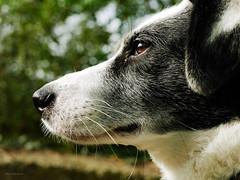 43/52 – look to the future (stephubik) Tags: bubak dog portrait 52weeksfordogs