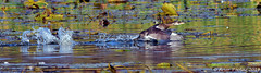 Pied-Billed Grebe (Arvo Poolar) Tags: outdoors ontario canada waterfowl whitby piedbilledgrebe bird arvopoolar nikond500 water cranberrymarsh reflections wings naturallight nature natural naturephotography