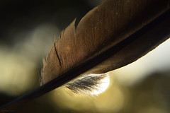Angels (Ronnie Gaye) Tags: angels feather backlight bokeh