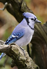 _A993542 (mbisgrove) Tags: sony bluejay bisgrove bird a99ii a99m2 blue ontario canada northern sal70400g2 feather feathers jay