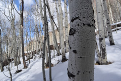 Winter Trees (Toasto) Tags: telluride winter colorado snow trees tree white cold january