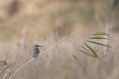 Martin-pêcheur (chri31) Tags: domaine des oiseaux france hiver ladddo martinpêcheur deurope alcedo atthis mazères midi pyrenées occitanie
