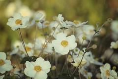 Lovely Flowers, Cantigny Park. 60 (EOS) (Mr. Mega-Magpie) Tags: canon eos 60d nature lovely flowers cantigny park wheaton dupage il illinois usa america white yellow green