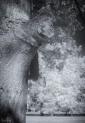 GREY SQUIRREL 2 (Nigel Bewley) Tags: greysquirrel sciuruscarolinensis mammal walpolepark ealing london england uk wildlife nature naturalhistory greatoutdoors wildlifephotography unlimitedphotos nigelbewley photologo october october2019 canonef1635mmf28liiusm canon5dmkii 830nm infrared digitalinfrared advancedcameraservices blackandwhite blackwhite creativephotography artphotography amateurphotographer appicoftheweek
