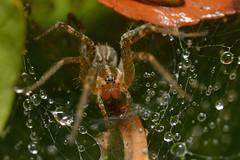 GrassSpider 10-27-2019 (bobmullen777) Tags: nature spiders macro