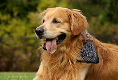 """The Dude"" (Diane Marshman) Tags: thedude the dude golden retriever large dog breed brown fur coat adult male tongue bandana fall pa pennsylvania state nature animal pet companion goldenretriever"