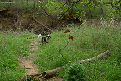 focus on the vine (pvh photo) Tags: dog trails woods spring shihpoo
